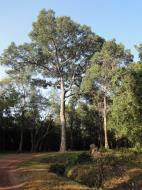 Asisbiz Angkor Wat Temple inner E area giant trees Angkor Siem Reap 02