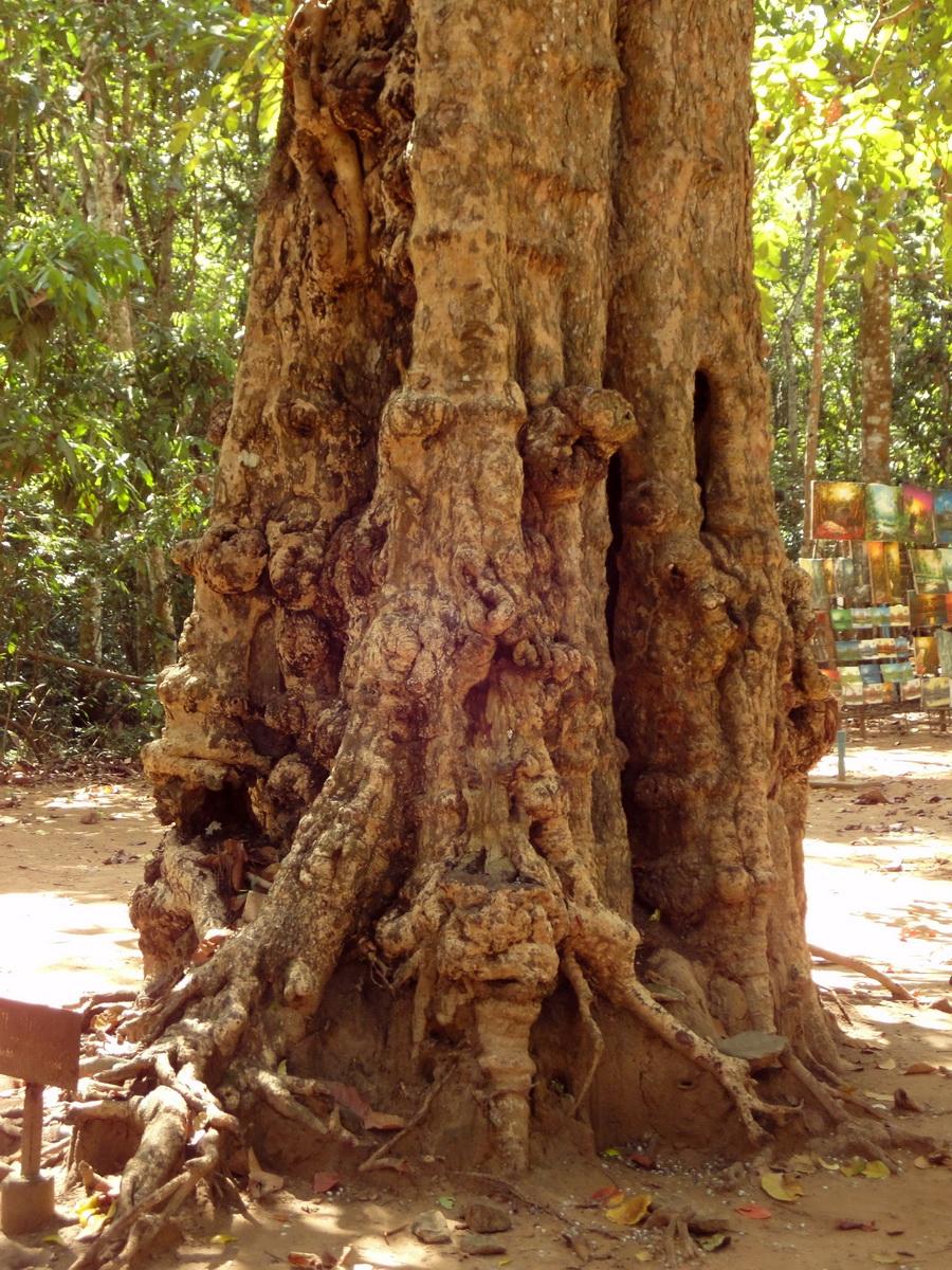 A Banteay Kdei Temple giant spirit trees 01