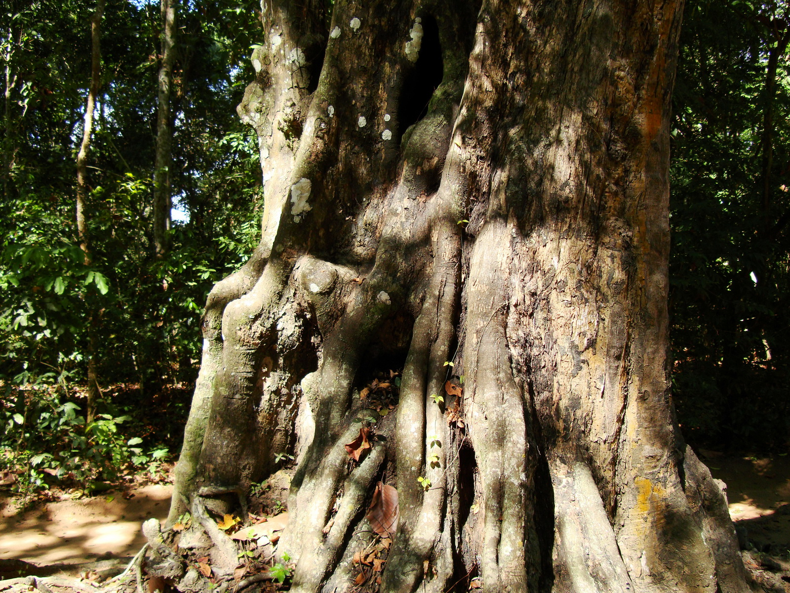 A Banteay Kdei Temple giant spirit trees 03