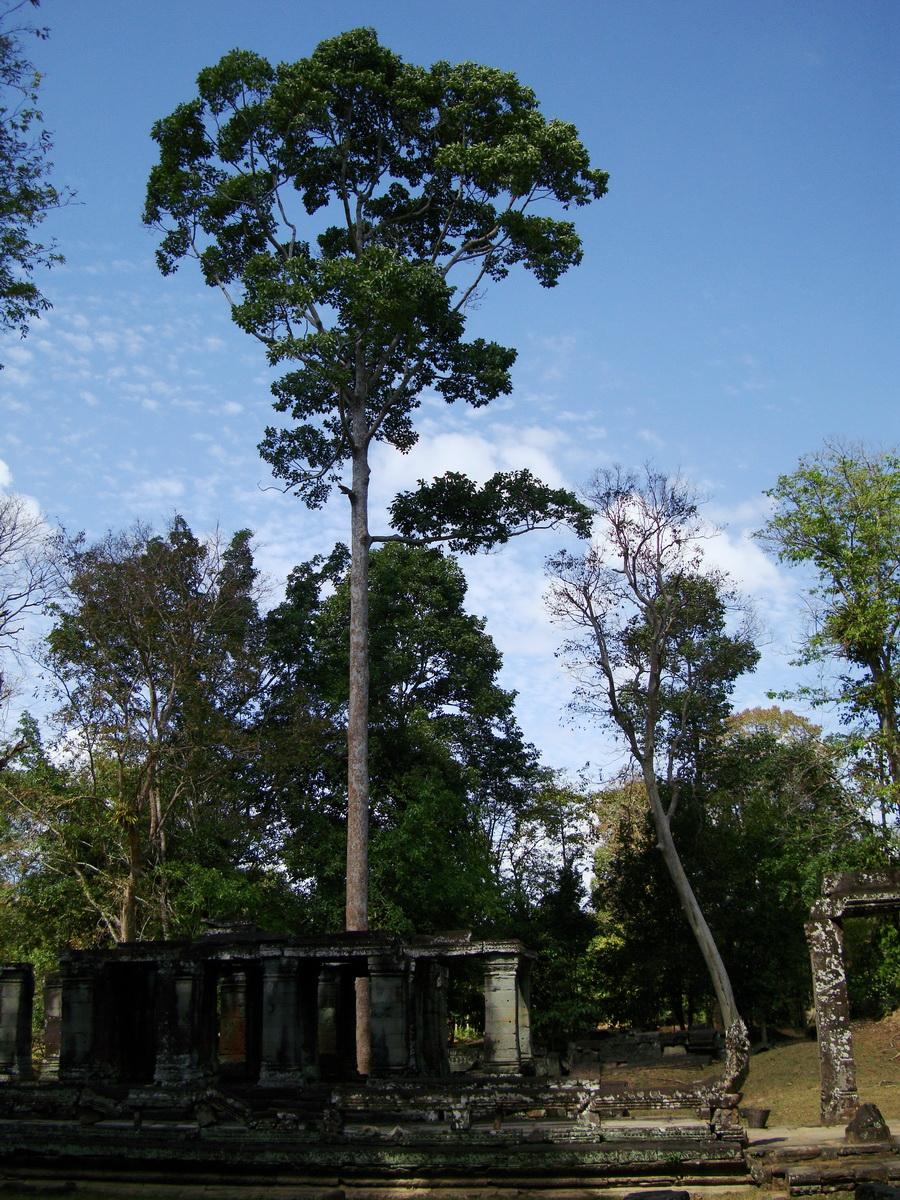 Banteay Kdei Temple giant trees 03
