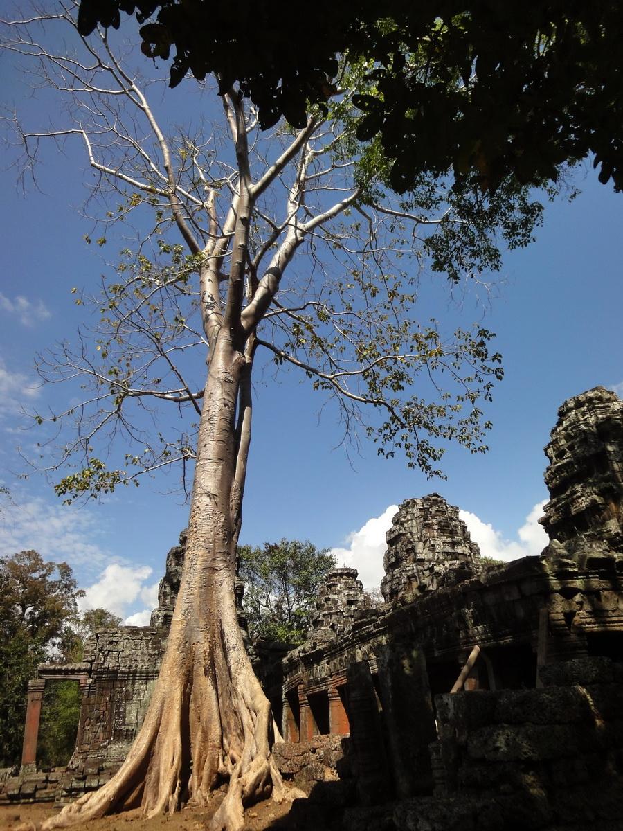 D Banteay Kdei Temple western entrance giant tree 01