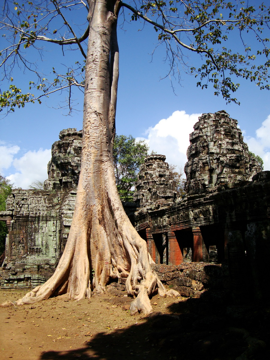 D Banteay Kdei Temple western entrance giant tree 05