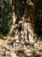 Asisbiz A Banteay Kdei Temple giant spirit trees 02