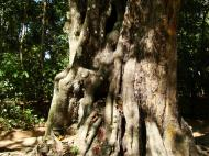 Asisbiz A Banteay Kdei Temple giant spirit trees 03