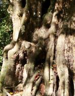 Asisbiz A Banteay Kdei Temple spirit giant tree snake 01