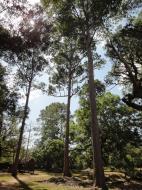 Asisbiz Banteay Kdei Temple giant trees 01