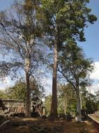 Asisbiz Banteay Kdei Temple giant trees 02