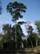 Asisbiz Banteay Kdei Temple giant trees 03
