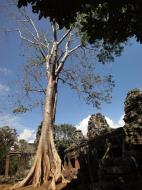 Asisbiz D Banteay Kdei Temple western entrance giant tree 01
