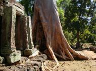 Asisbiz D Banteay Kdei Temple western entrance giant tree 09