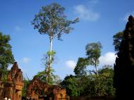 Asisbiz Banteay Srei Hindu Temple giant tree Jan 2010 01
