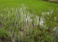 Asisbiz Banteay Srei Temple village rice paddies 01