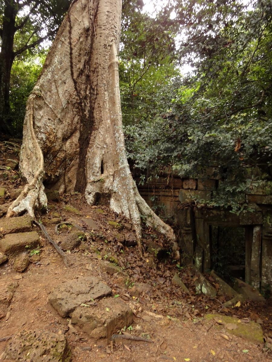 Royal Palace giant trees Angkor Cambodia Jan 2010 02