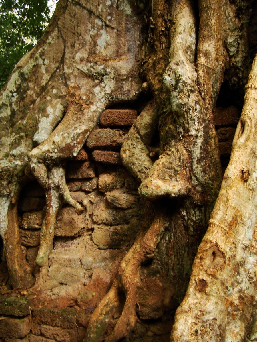 Royal Palace giant trees Angkor Cambodia Jan 2010 09