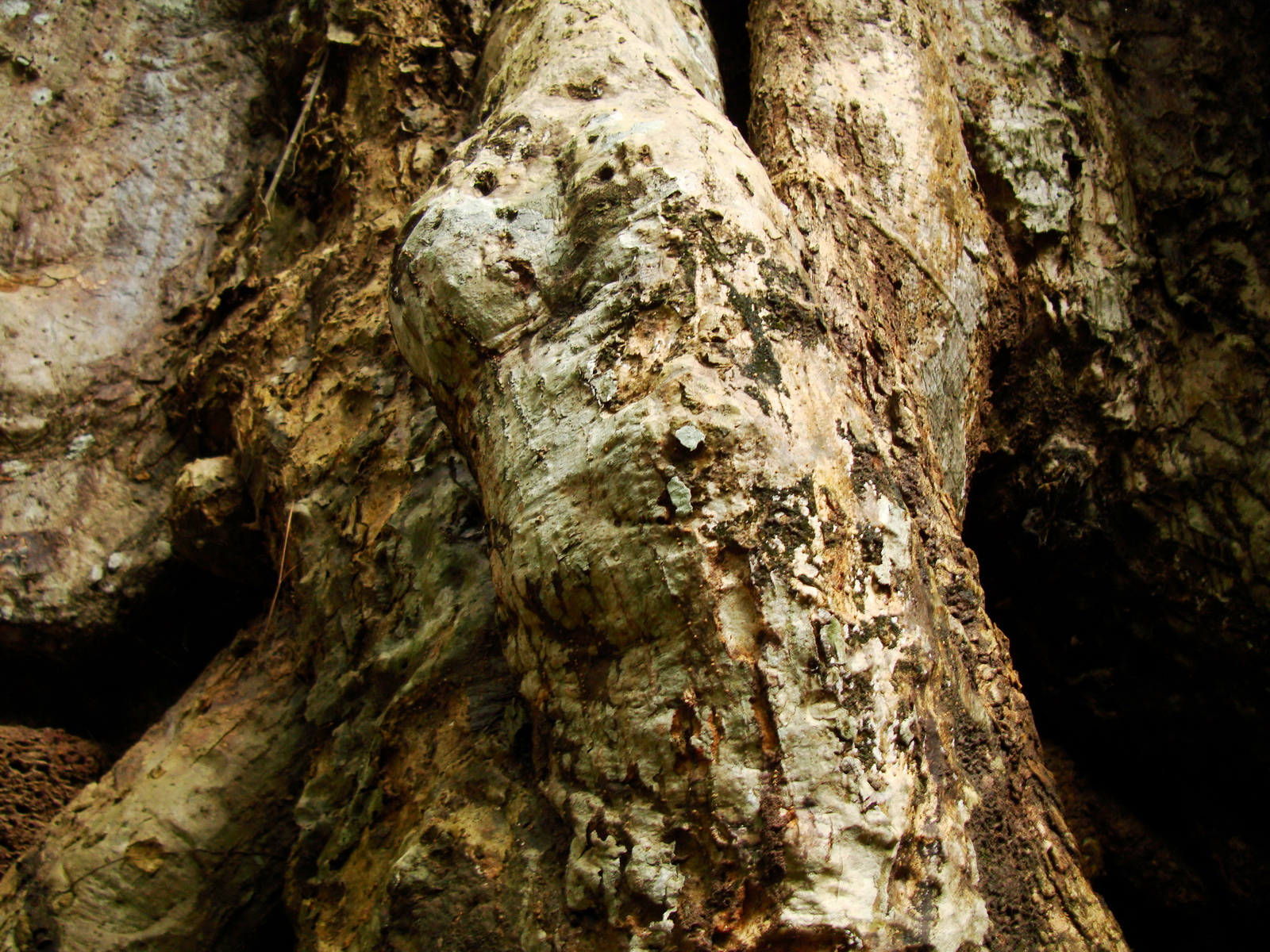 Royal Palace giant trees Angkor Cambodia Jan 2010 11