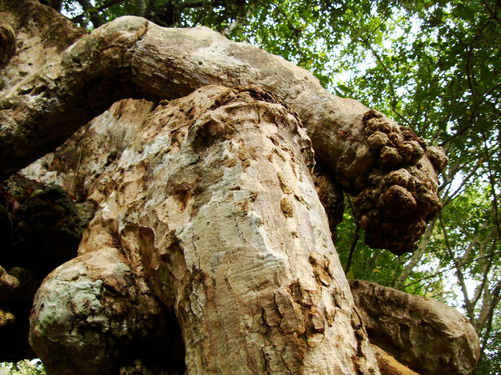 Royal Palace giant trees Angkor Cambodia Jan 2010 12