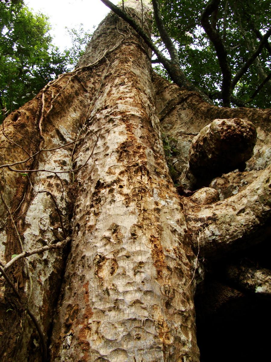 Royal Palace giant trees Angkor Cambodia Jan 2010 14