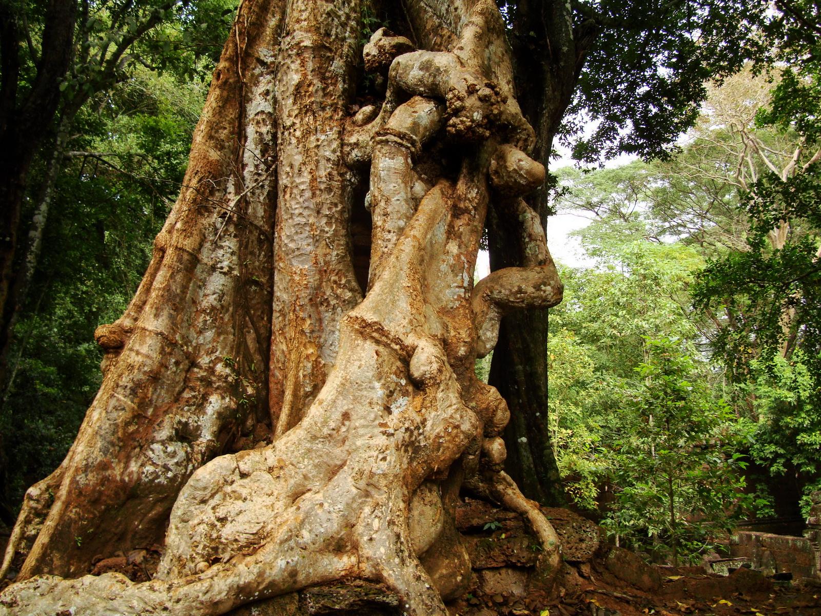 Royal Palace giant trees Angkor Cambodia Jan 2010 16