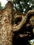 Asisbiz Royal Palace giant trees Angkor Cambodia Jan 2010 15