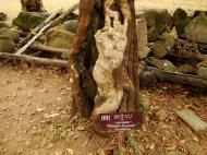 Asisbiz Royal Palace spirit tree Angkol Garcinia lanessani Guttiferae tree 01