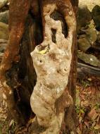 Asisbiz Royal Palace spirit tree Angkol Garcinia lanessani Guttiferae tree 02