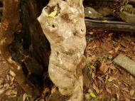 Asisbiz Royal Palace spirit tree Angkol Garcinia lanessani Guttiferae tree 03