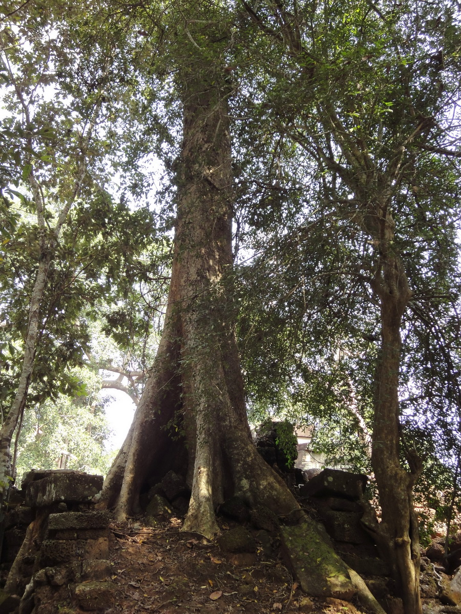 Preah Khan Temple laterite walls overtaken by giant strangler fig trees 01