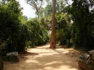 Asisbiz Preah Khan Temple giant tree along the pathway Angkor Thom 02