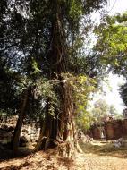 Asisbiz Preah Khan Temple laterite walls overtaken by giant strangler fig trees 02