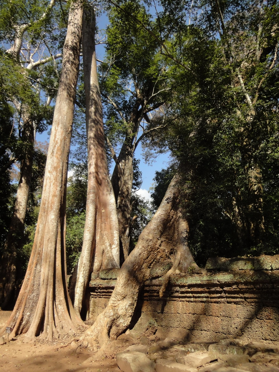 Ta Prohm Temple Tomb Raider giant trees dwaf the laterite walls 05