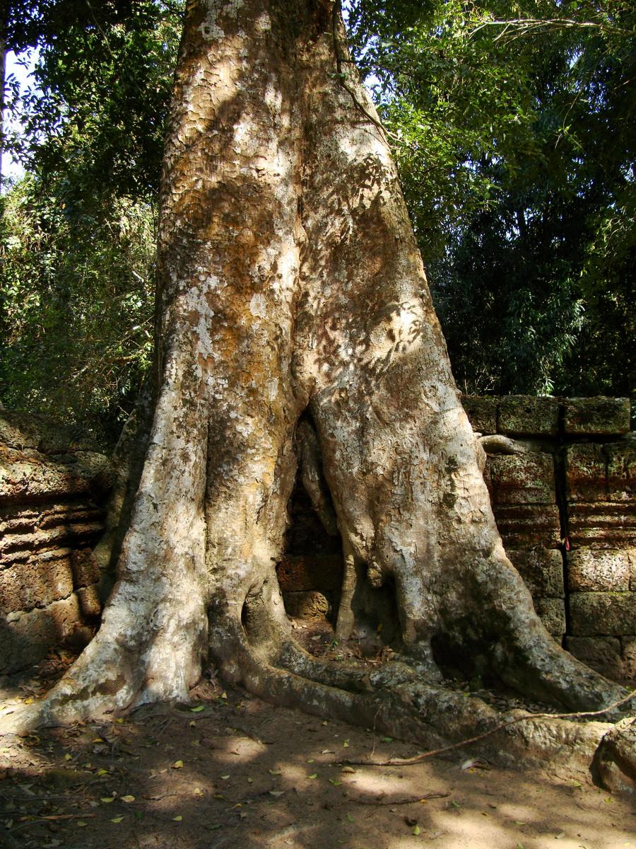 Ta Prohm Temple Tomb Raider giant trees dwaf the laterite walls 09