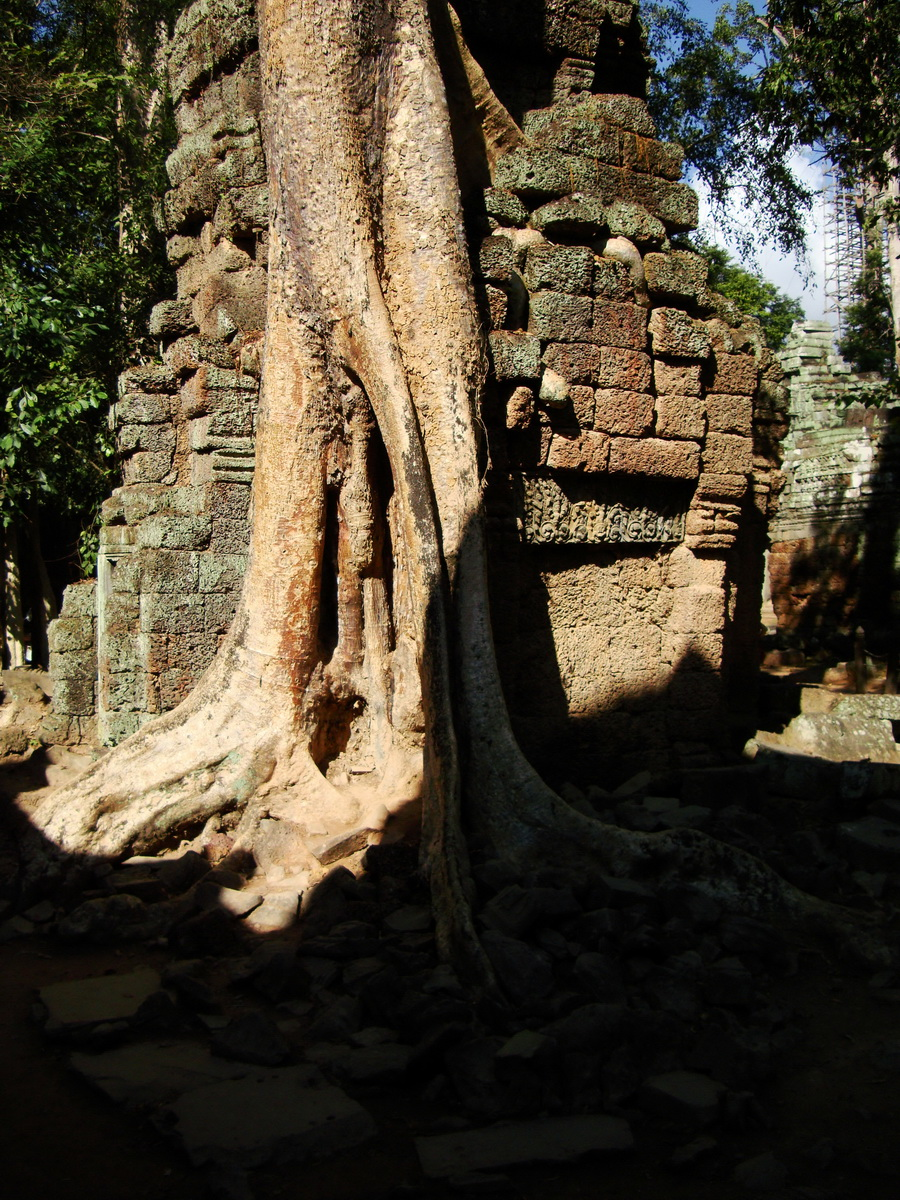 Ta Prohm Temple Tomb Raider giant trees dwaf the laterite walls 12