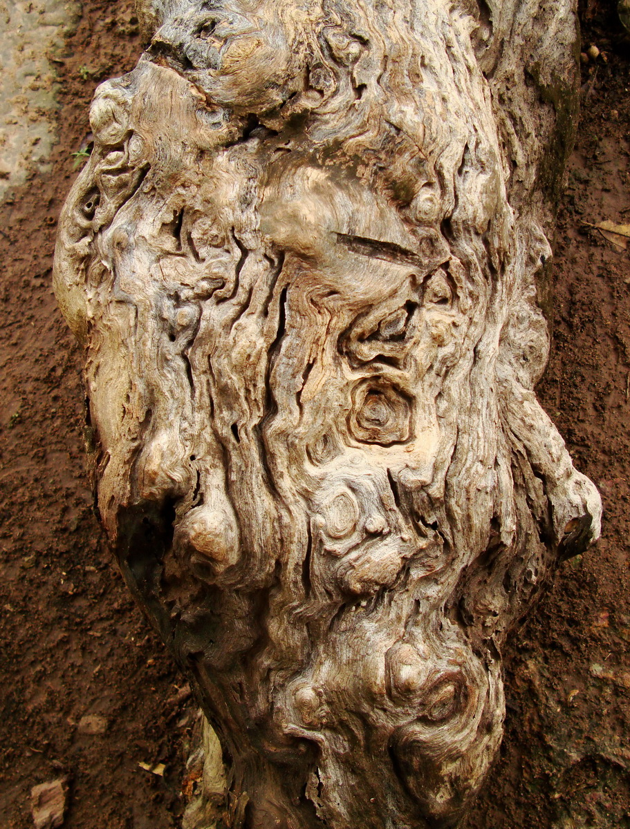 Leper King Terrace tree root 01