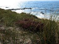Asisbiz Ecology Seashore plants and vegetation Bornholm Denmark 01