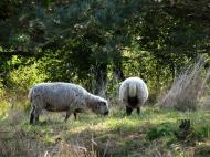 Asisbiz Ecology farming common Danish livestock cattle and sheep Bornholm Denmark 02