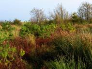 Asisbiz Ecology plants and vegetation conifers ferns Bornholm Denmark 01
