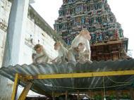 Asisbiz Madurai Alagar Kovil Temple monkeys India May 2004 01