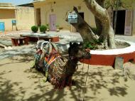 Asisbiz Rajasthan Jaipur Jaigarh Fort camel India Apr 2004 01
