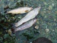 Asisbiz Kashmir Pahalgam Valley trout India Apr 2004 01