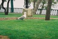 Asisbiz Travel photos seagull inspecting the local grass Rapallo Italy 01