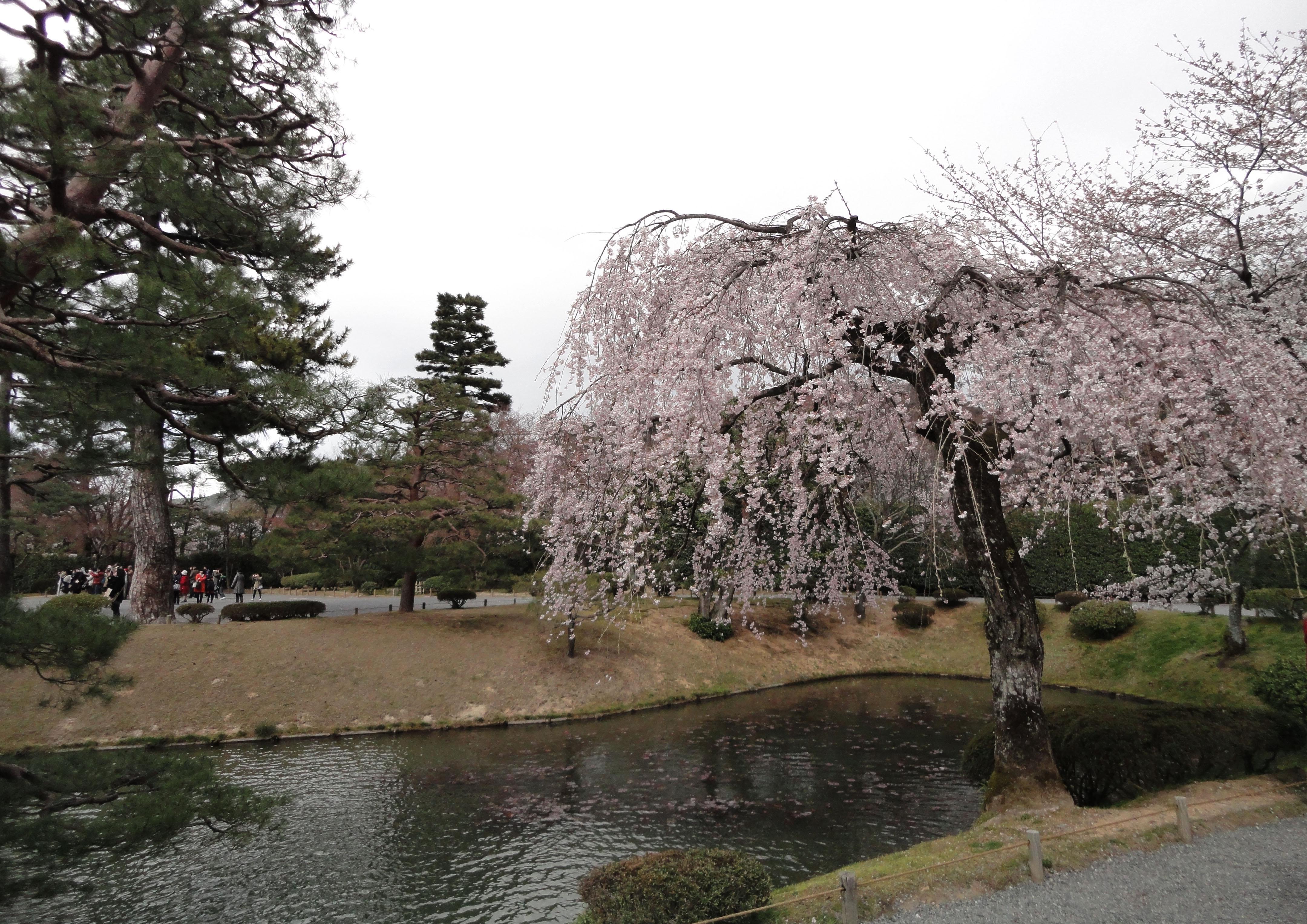 Cherry tree blossoms Byodo in temple Jodo shiki garden Kyoto Japan 01