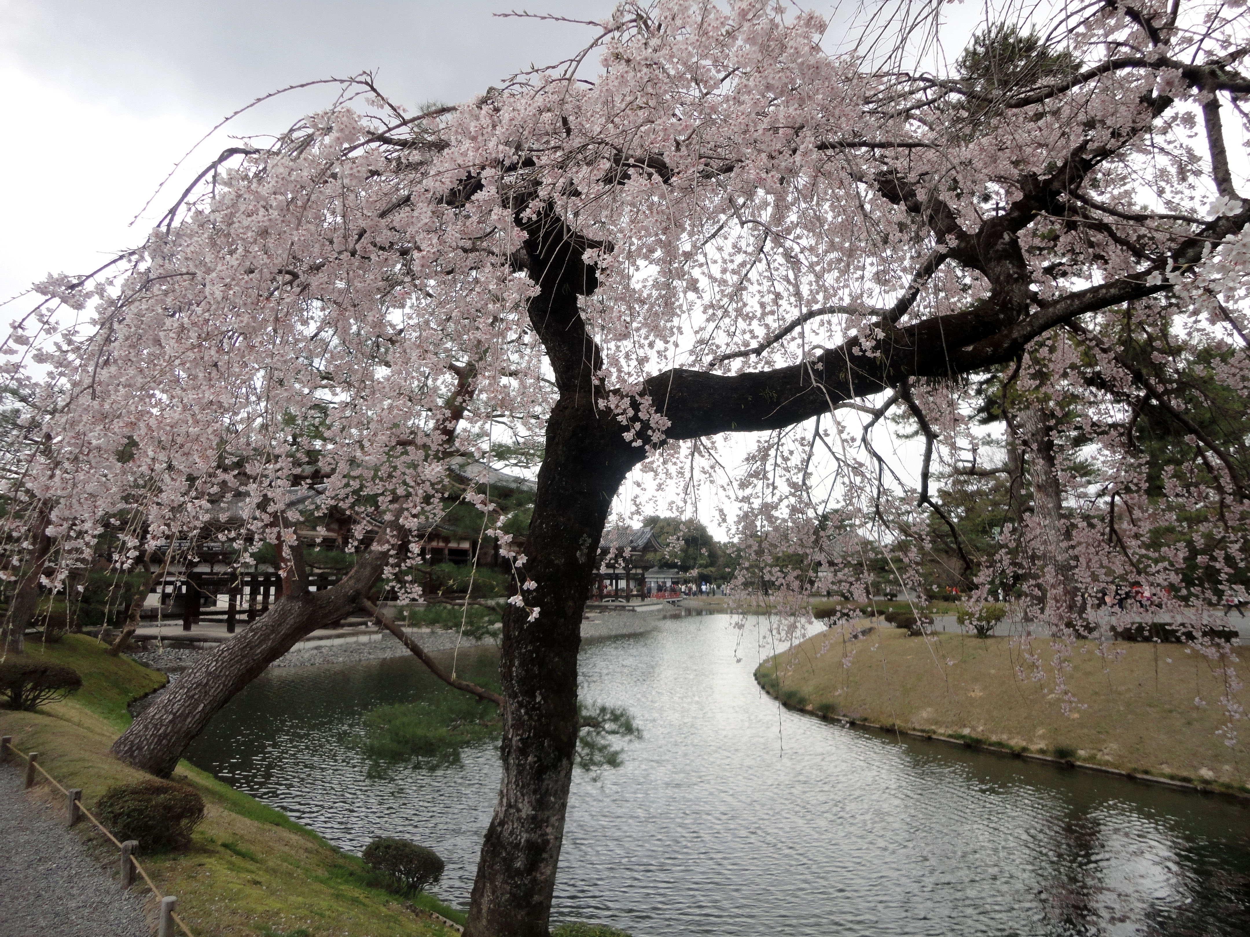 Pink Cherry tree blossoms Byodo in temple Jodo shiki garden Kyoto Japan 02