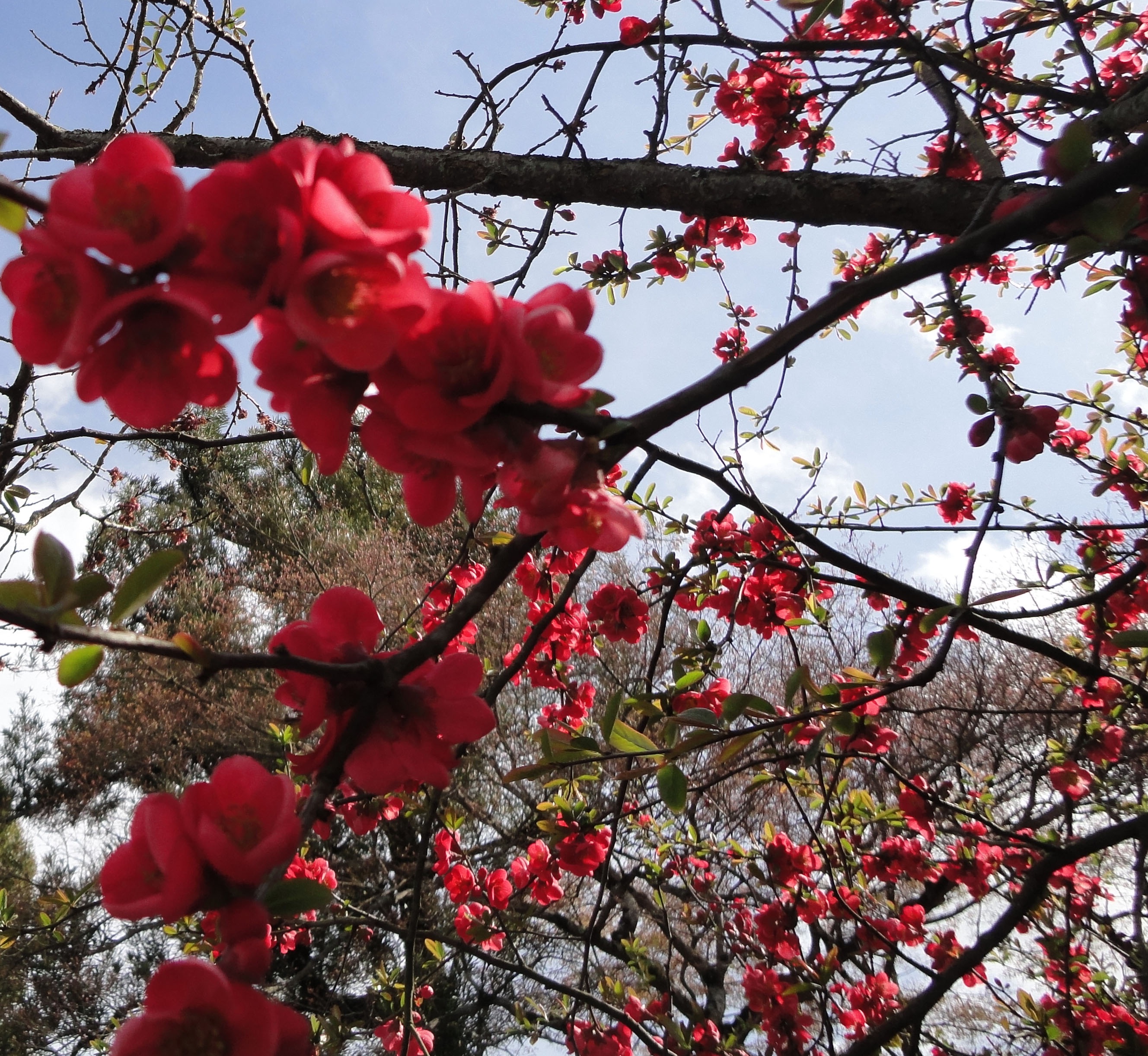 asisbiz red cherry blossoms byodo in temple in the city of uji in