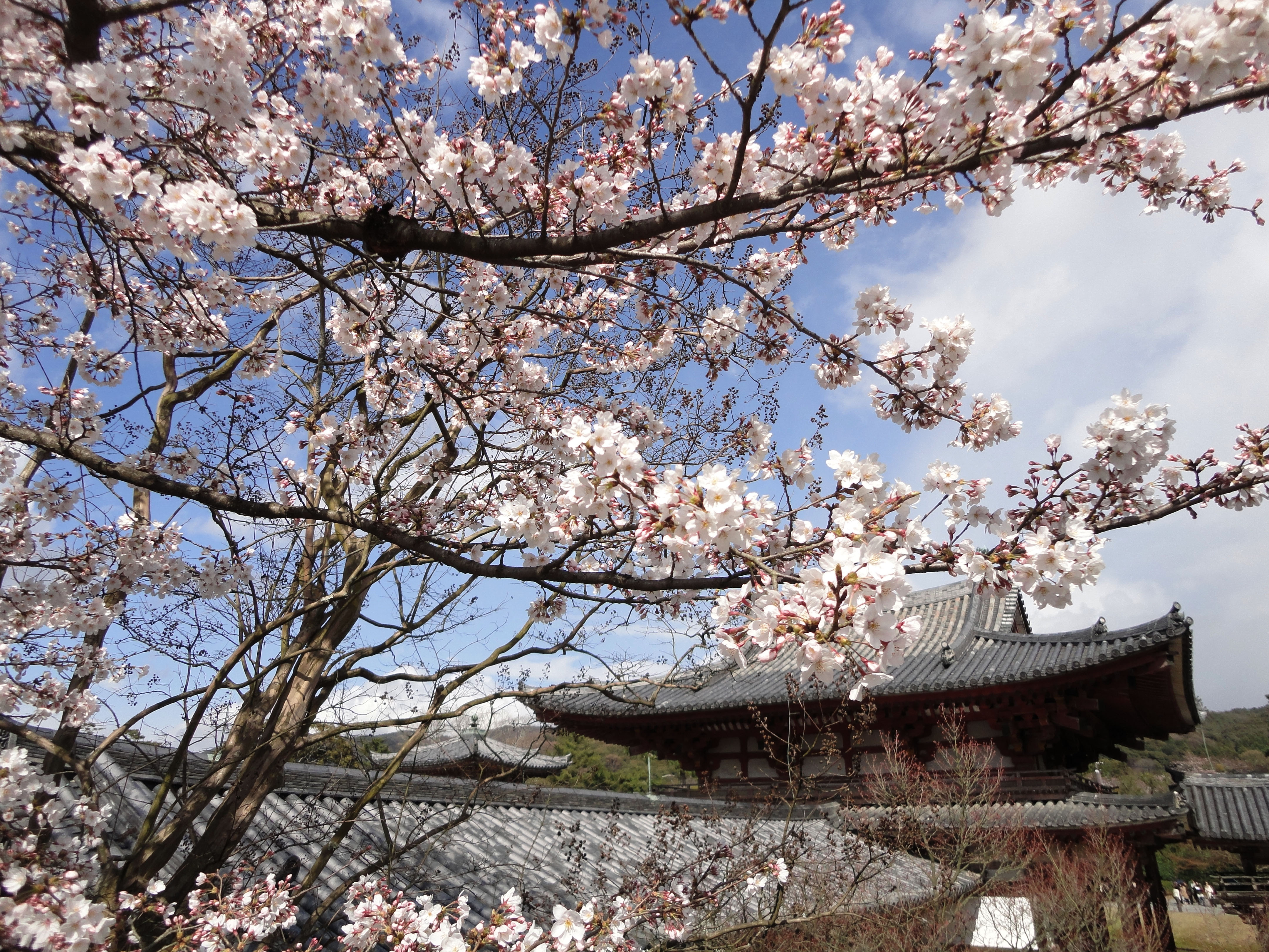 White Cherry Blossoms Byodo in temple in the city of Uji in Kyoto Prefecture Japan 01