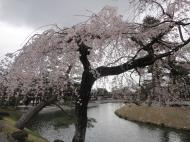 Asisbiz Pink Cherry tree blossoms Byodo in temple Jodo shiki garden Kyoto Japan 01