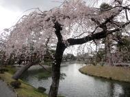 Asisbiz Pink Cherry tree blossoms Byodo in temple Jodo shiki garden Kyoto Japan 02