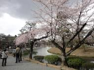 Asisbiz Pink Cherry tree blossoms Byodo in temple Jodo shiki garden Kyoto Japan 03