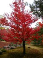 Asisbiz Kinkaku ji Temple Zen Garden Maples Kyoto Japan Nov 2009 06