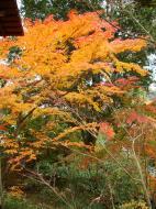 Asisbiz Kinkaku ji Temple Zen Garden Maples Kyoto Japan Nov 2009 10