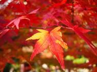 Asisbiz Maple trees Autumn leaves Kiyomizu dera Kyoto Japan Nov 2009 001